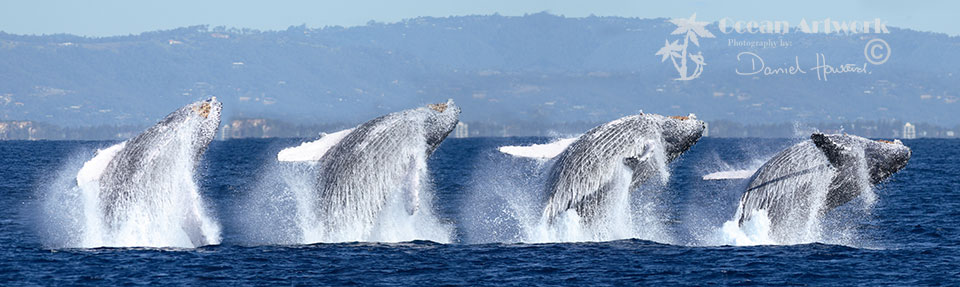 A sequence of a Humpack Whale Breaching off the Gold Coast, Australia